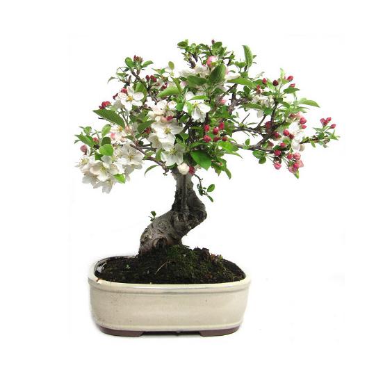 hochzeitsgeschenk bonsai baum die besten momente der. Black Bedroom Furniture Sets. Home Design Ideas